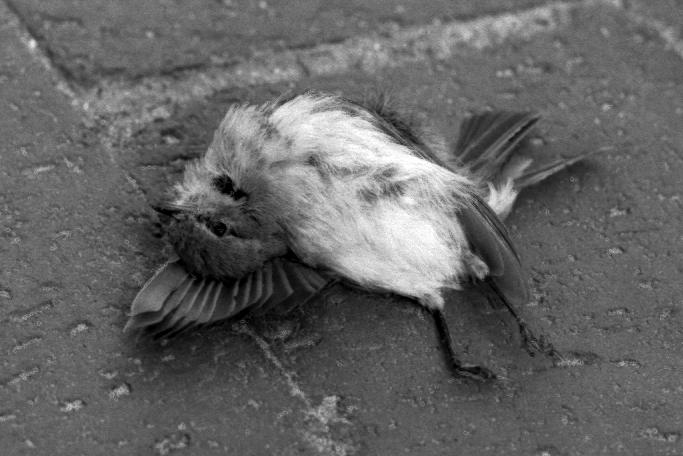 geoffrey chaucer parlament der vögel